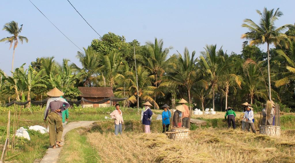 Accommodation Farm Village Workers Rice Paddy Fields Ubud Bali