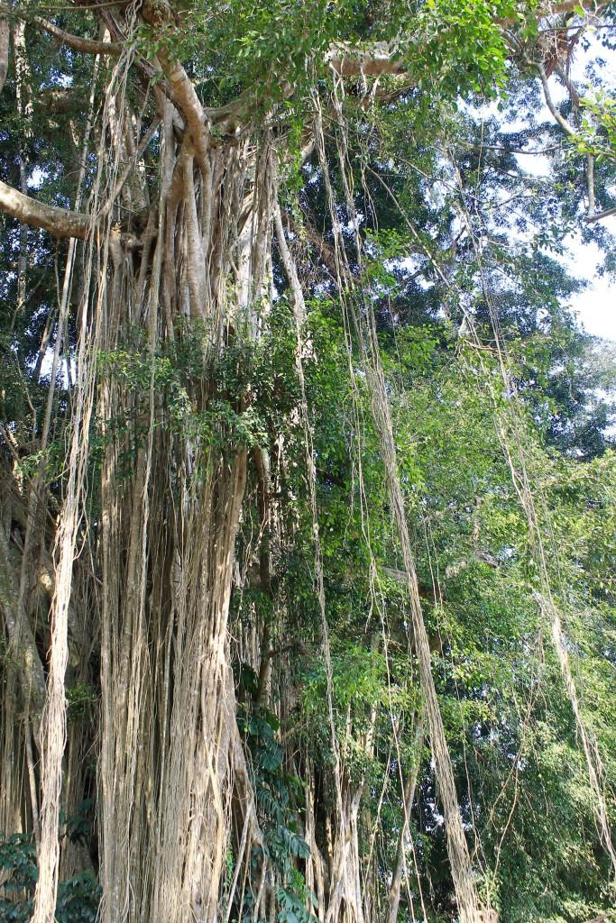 Banyan Tree Pura Kehen Temple Ubud Bali