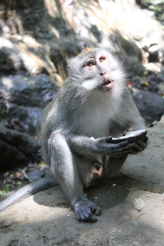 Coconut Monkey Forest Ubud Bali