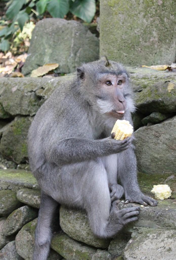 Corn Monkey Forest Ubud Bali