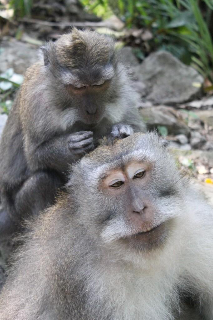 Grooming Monkey Forest Sanctuary Ubud Bali