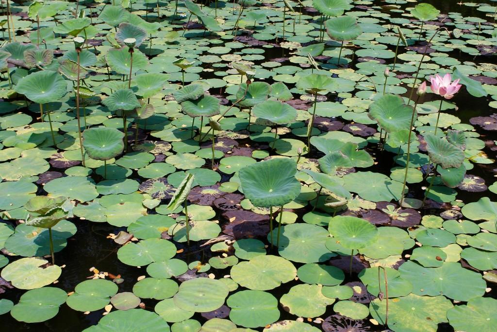 Lotus Pond Saraswati Temple Ubud Bali
