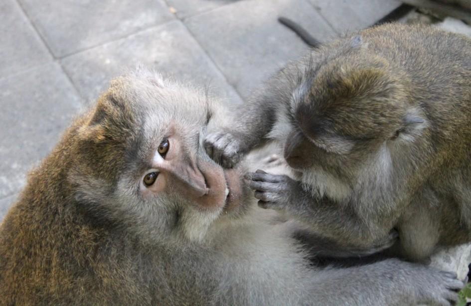 Grooming Monkey Forest Ubud Bali