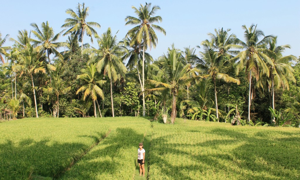 Rice Paddy Fields Ubud Bali