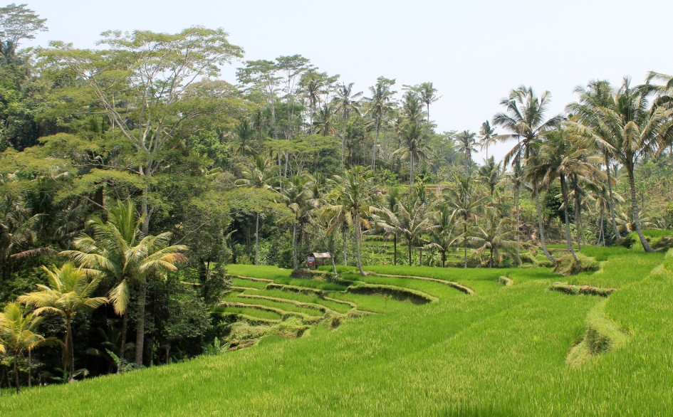 Ubud daytrip on motorbike top temples rice terraces for 100 rice terrace drive columbia sc