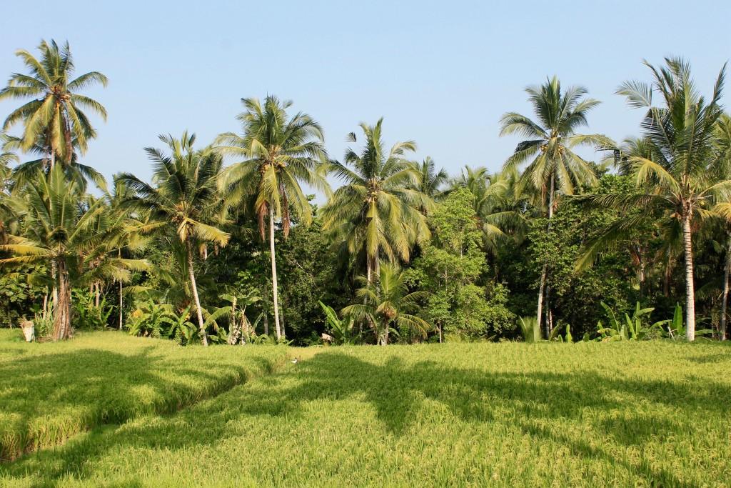 Ubud Rice Paddy Fields