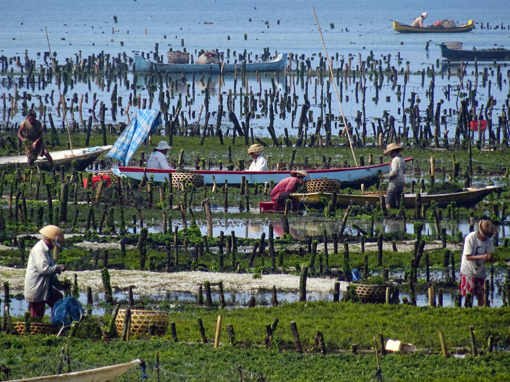 Seaweed Farming on Nusa Lembongan