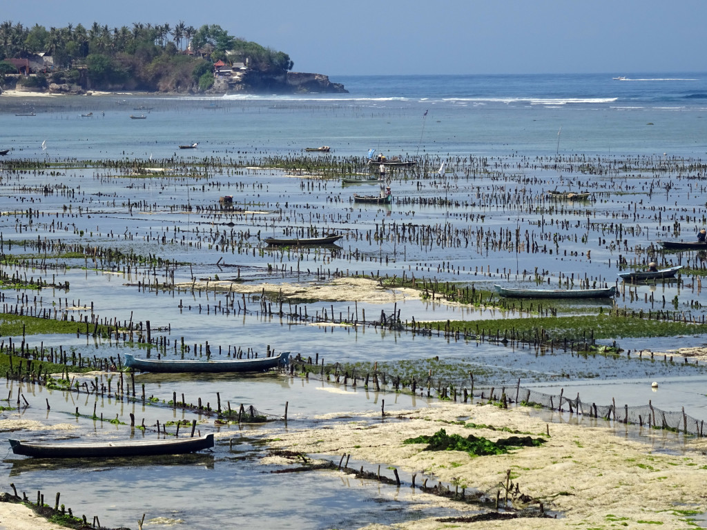 Outer seaweed farm plots