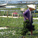 Photographs of Seaweed Farms, Nusa Lembongan