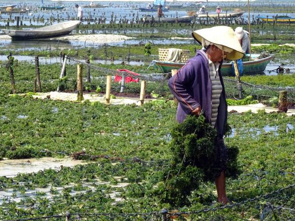 Woman Collecting seaweed