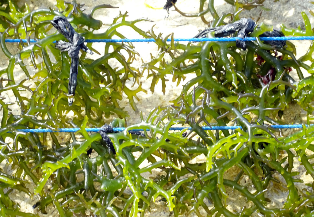 Seaweed Affixed to Rope