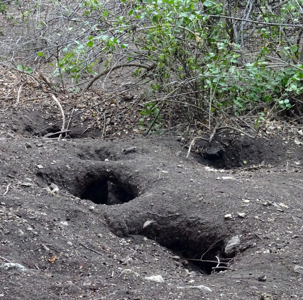 Komodo Dragon Decoy Nests