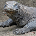 13 Interesting Facts About Komodo Dragons