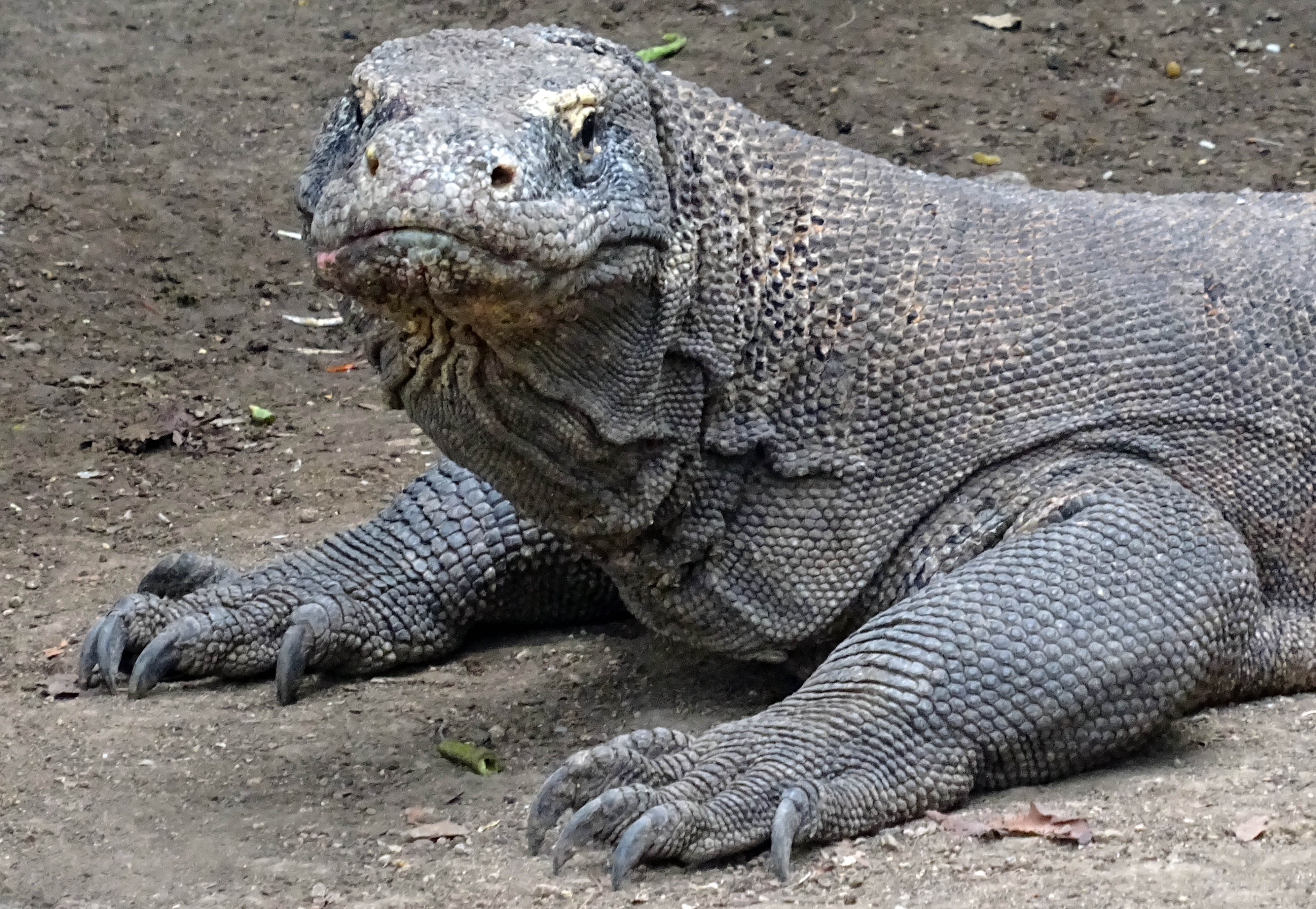 Komodo Dragon: Komodo Dragons, Fact Or Fiction: 13 Things To Know