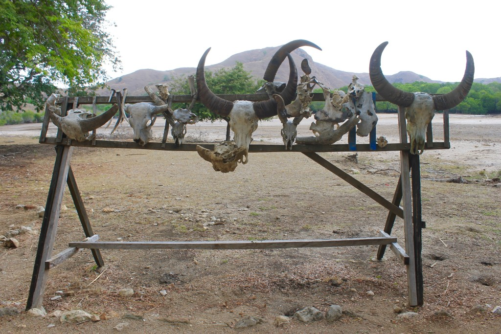 Rinca Island Buffalo Skulls