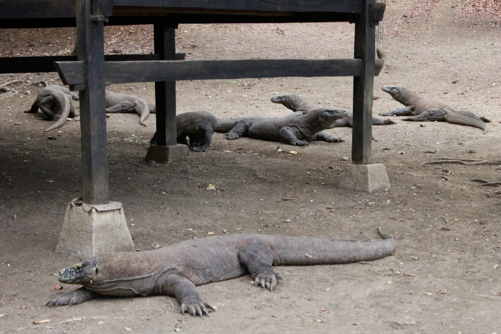 Labuan Bajo Komodo Dragons