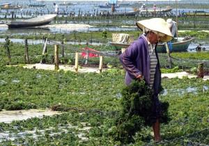 Nusa Lembongan Seaweed Lady vs
