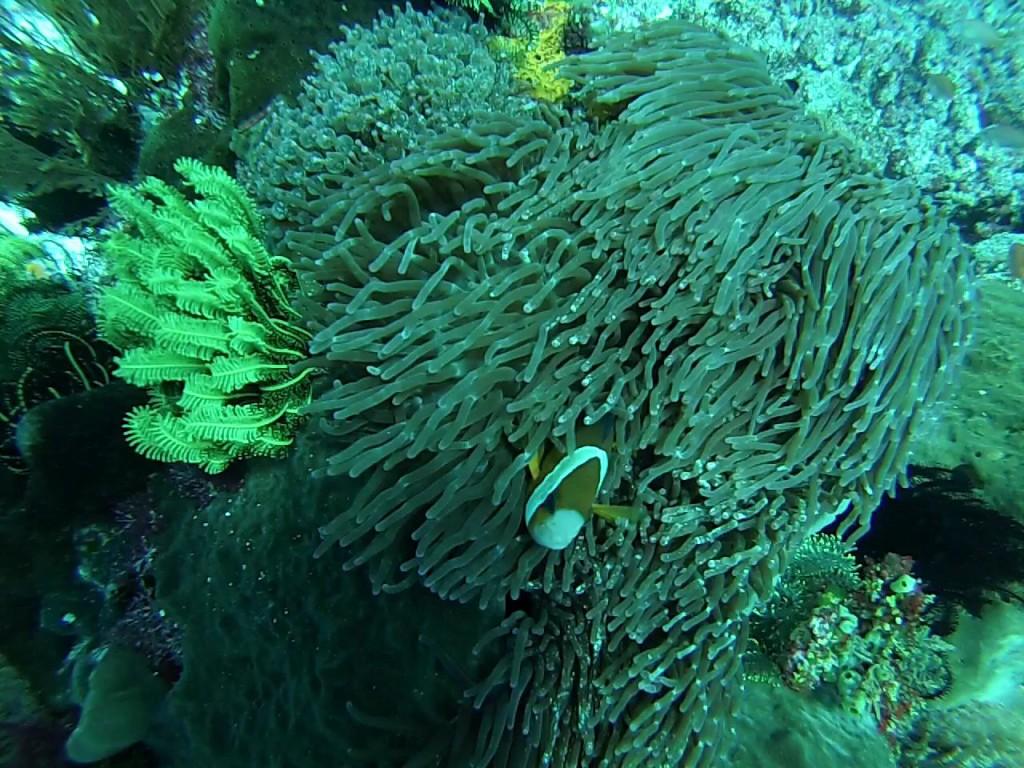 Diving Komodo National Park Finding Nemo Clown Fish