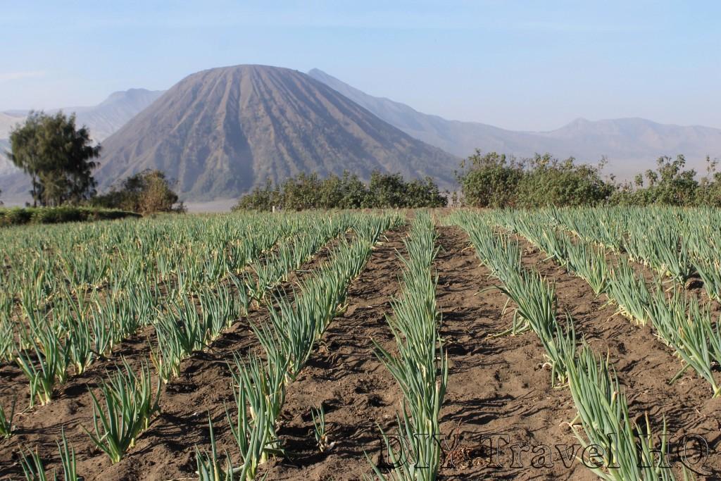 Spring onion farming on Mount Bromo