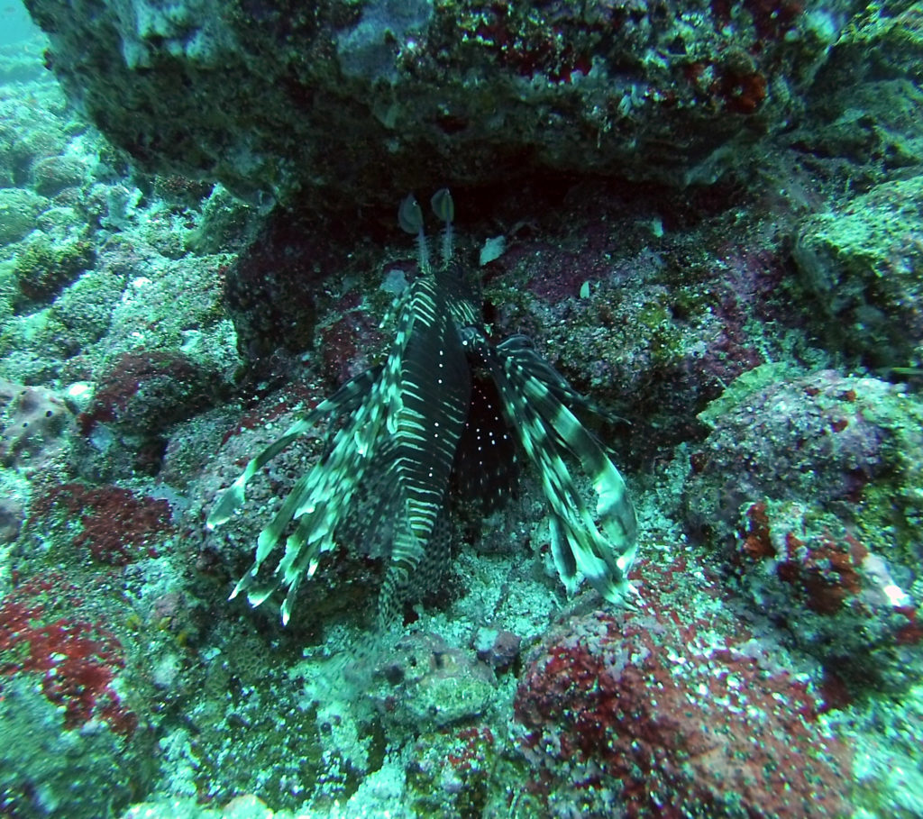 Lion Fish on Batee Tokong dive
