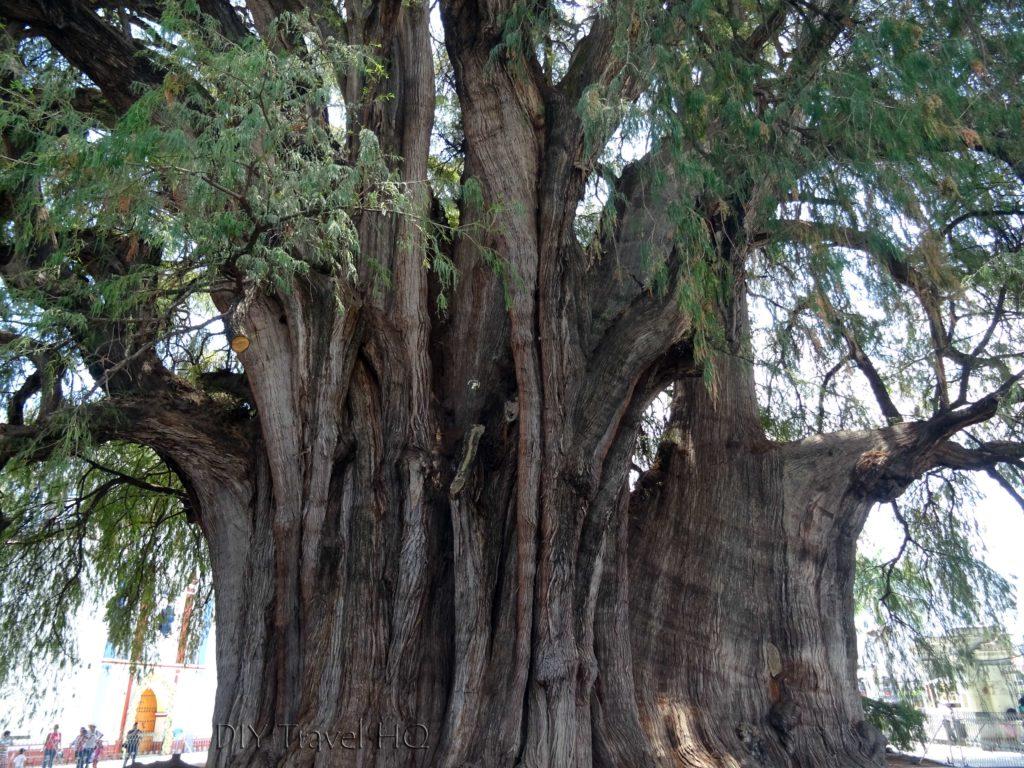 El Tule Tree Trunk