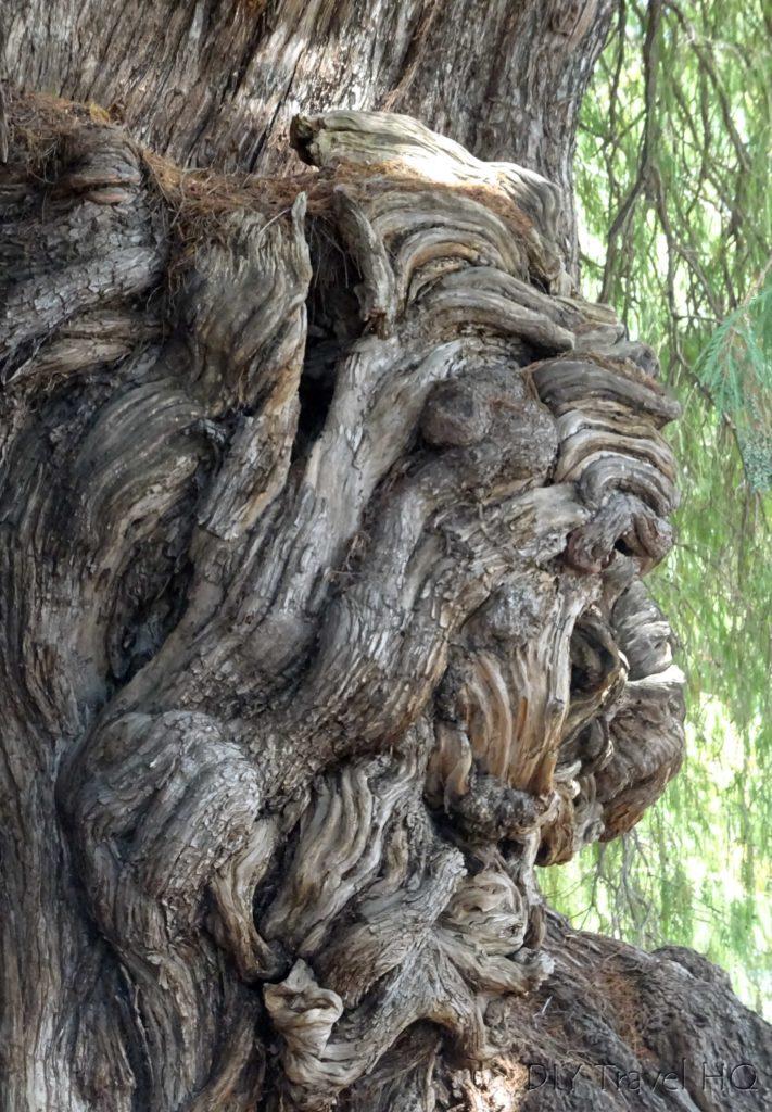 El Tule's Tree Knot Figure