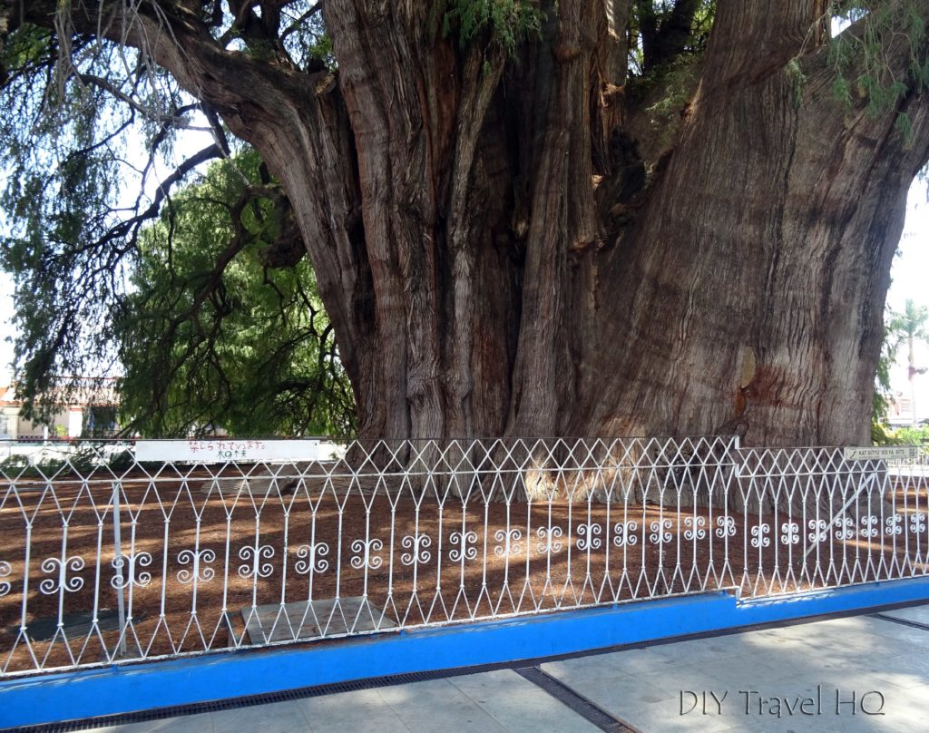 El Tule's Tree with Fence