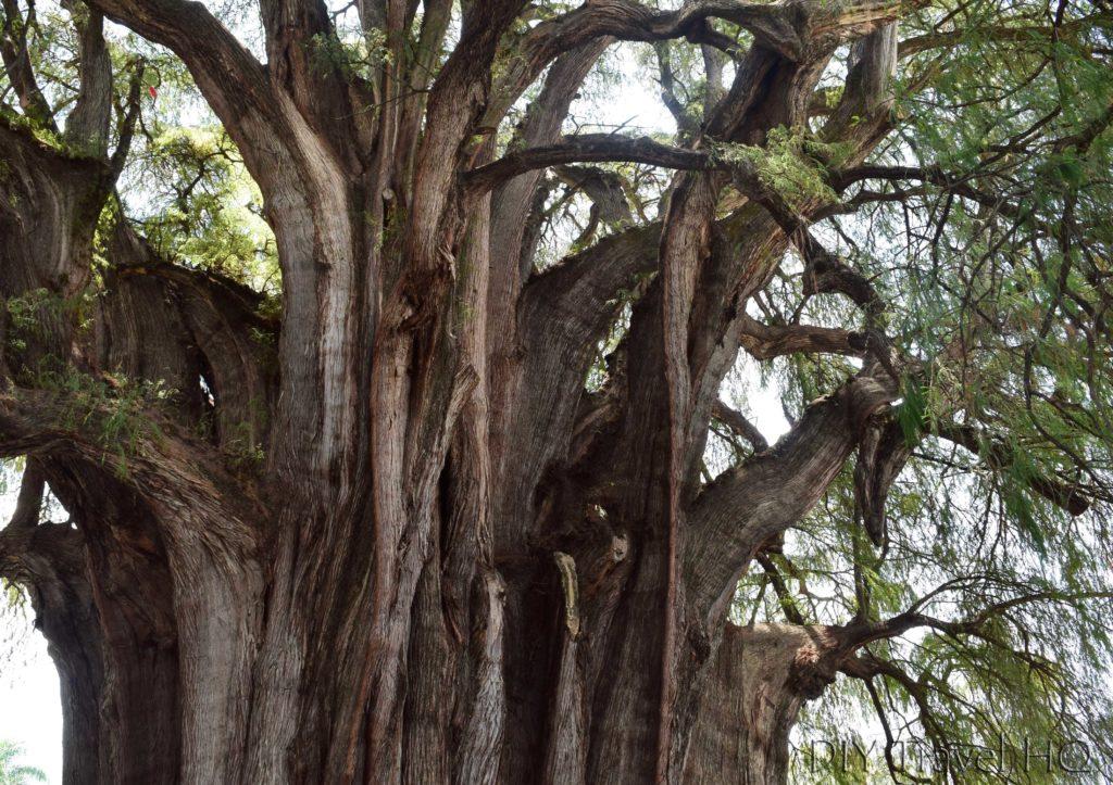 Is El Tule's Tree Merged Trunks