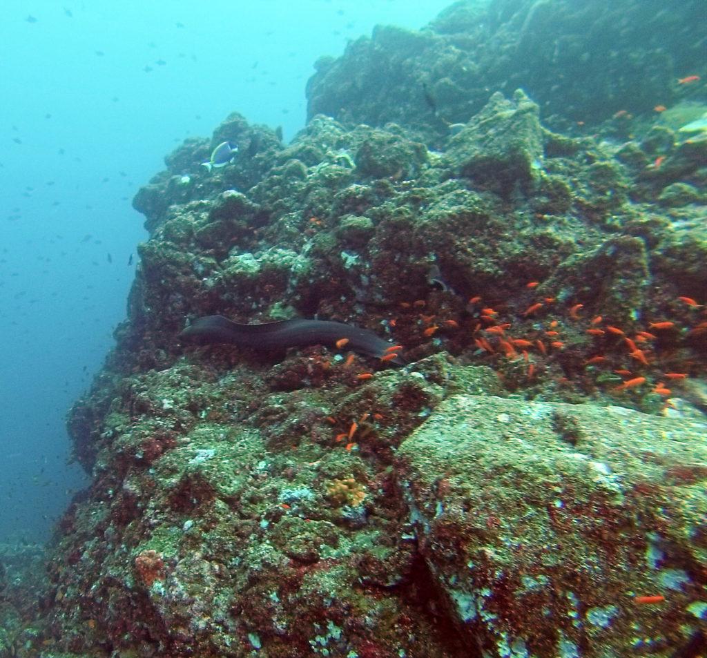 Moral Eel Swimming Pulau Weh
