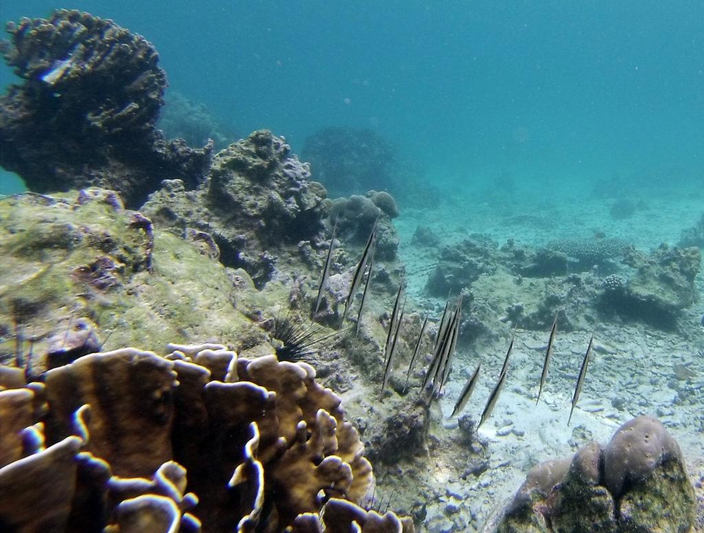 Seagrass Fish Batee Tokong idivi