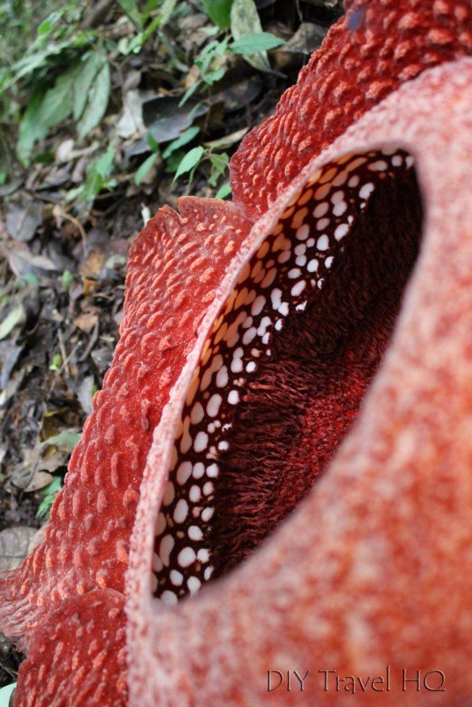 White spots inside Rafflesia