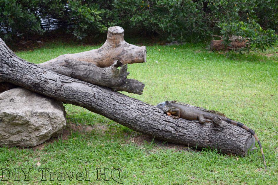 Tampico Iguana Sunbathing