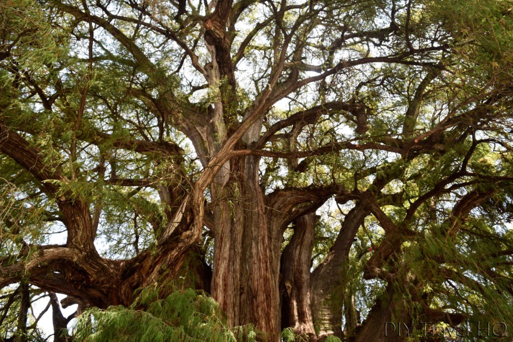 World's Largest Tree in El Tule