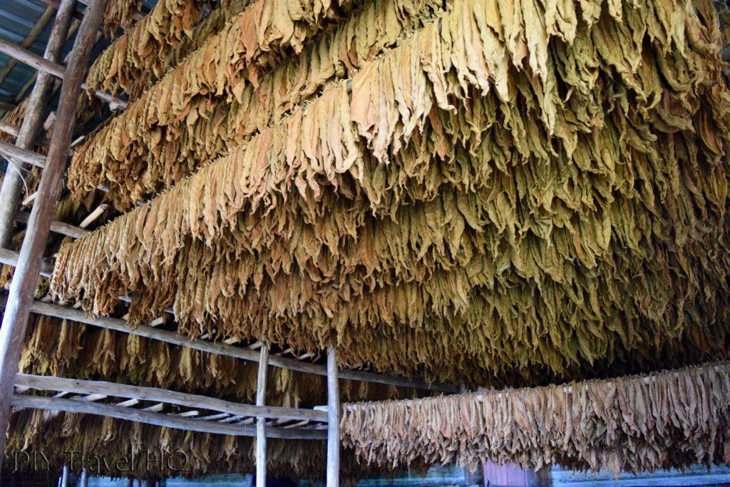 Tobacco Leaves Drying Robaina