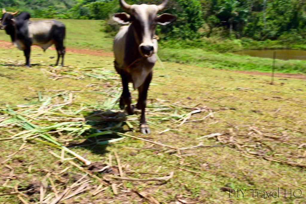 Charging Ox in Parque Nacional Vinales