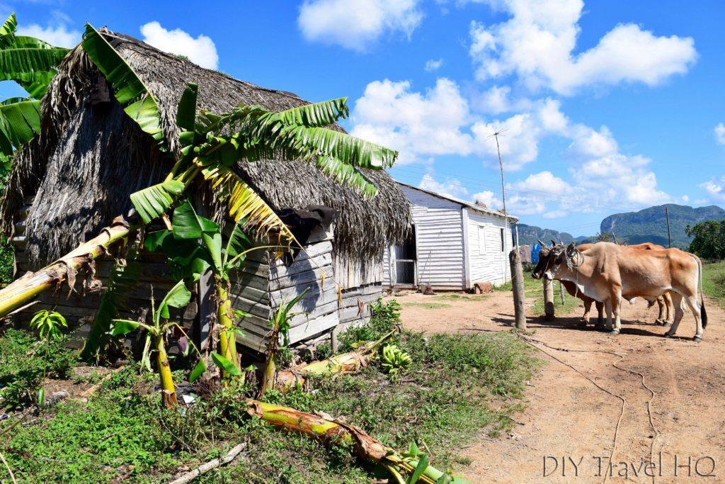 Ox in Village Farm Vinales