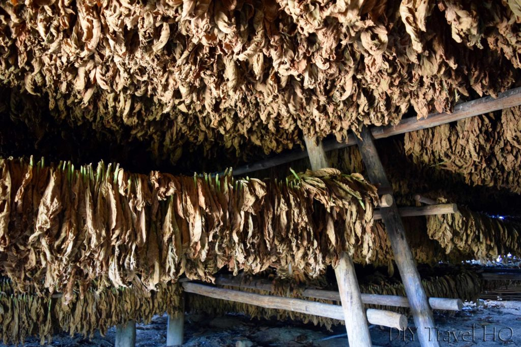 Tobacco leaves drying in the secadero
