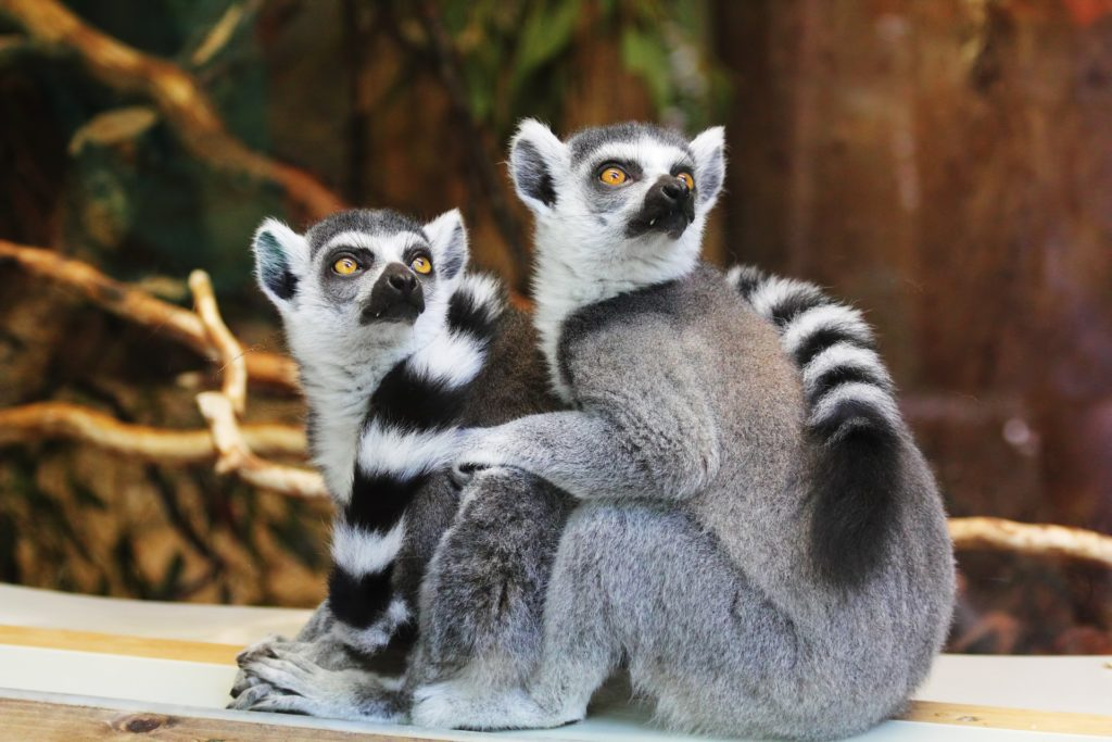 Two Lemurs at Zoo
