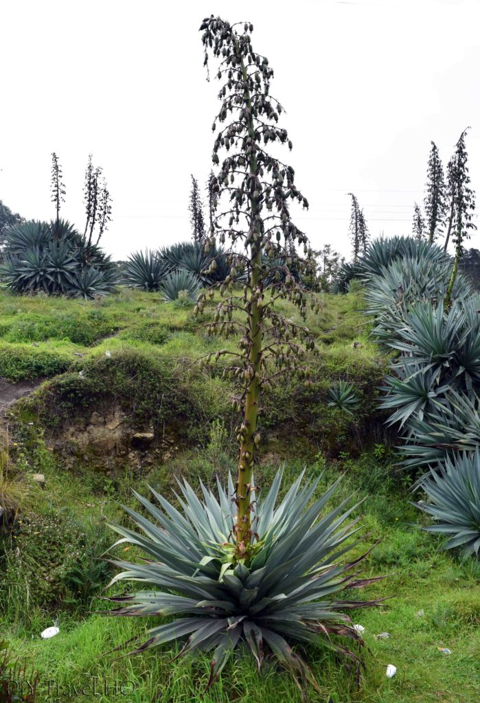 Exploring La Ventosa Agave in Bloom