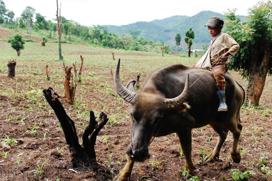 Boy on Bull in Hsipaw