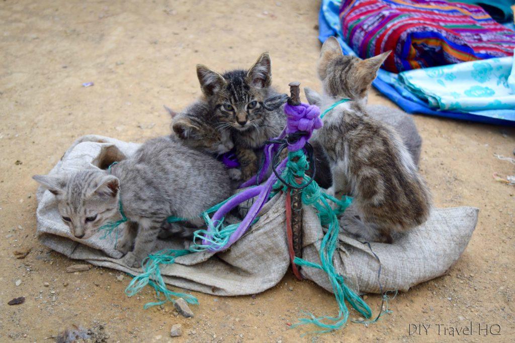 San Francisco El Alto Animal Market Kittens