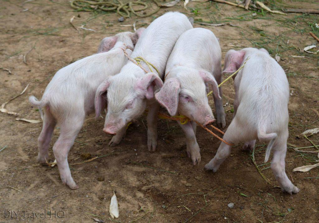 San Francisco El Alto Animal Market Pigs All Tied Up