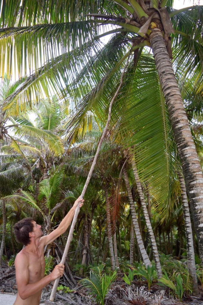 Getting coconuts of Glovers Atoll