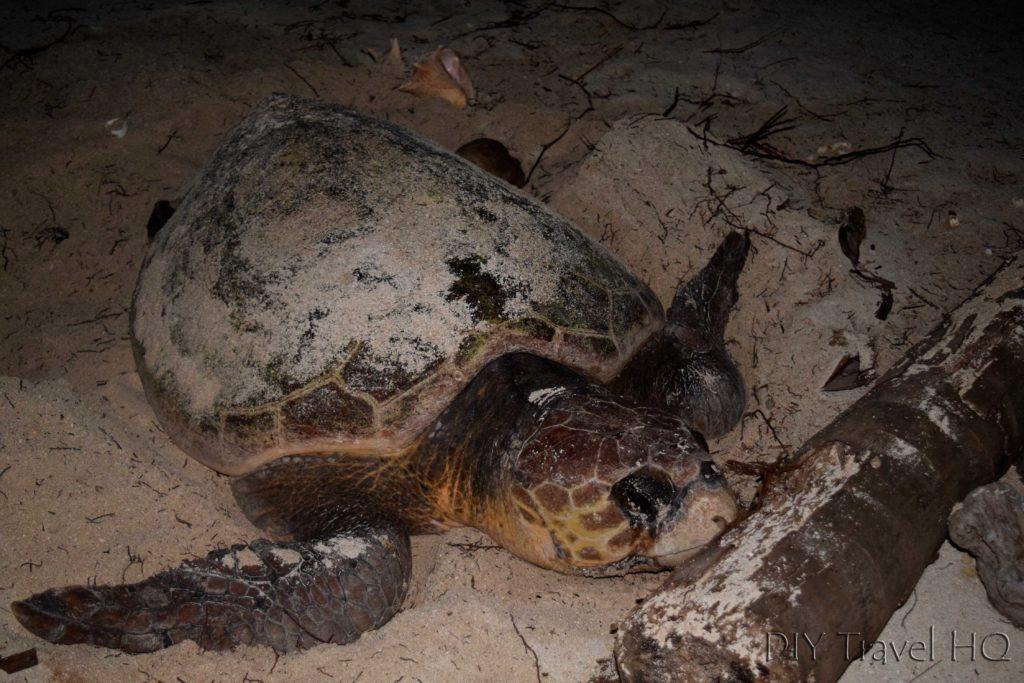 Turtle on Glovers beach