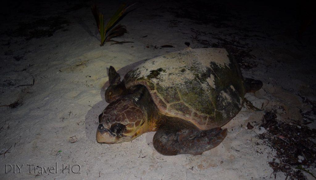 Turtle on Glovers Island