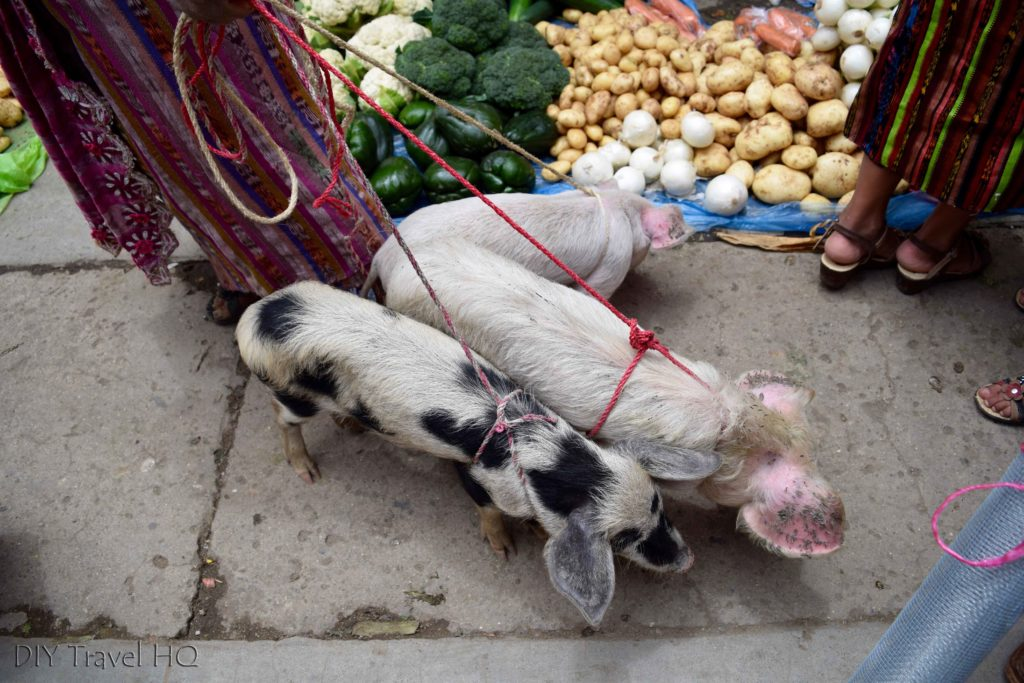 Momostenango Market Walking Pigs