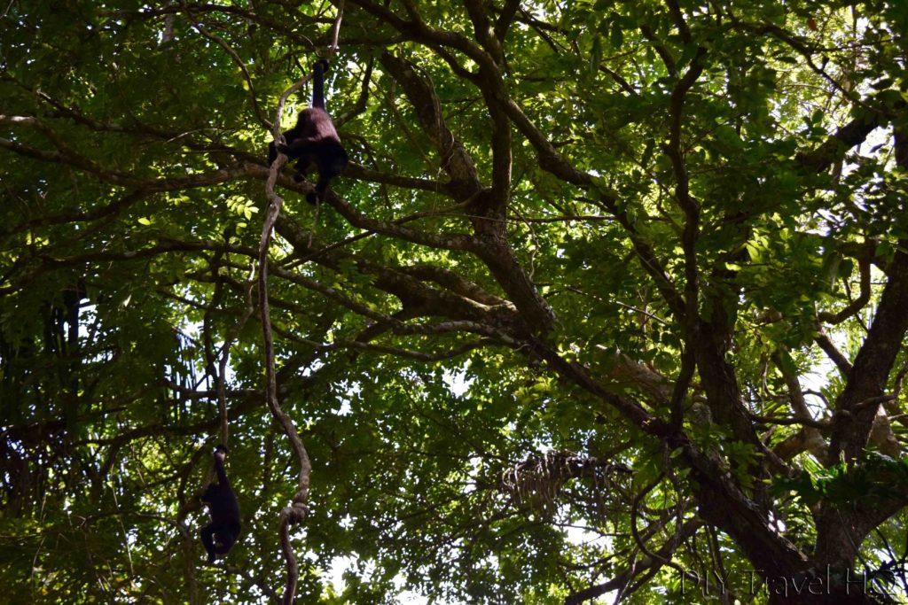 Belize Itinerary Black howler monkeys