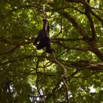 Meet Howler Monkeys at Community Baboon Sanctuary