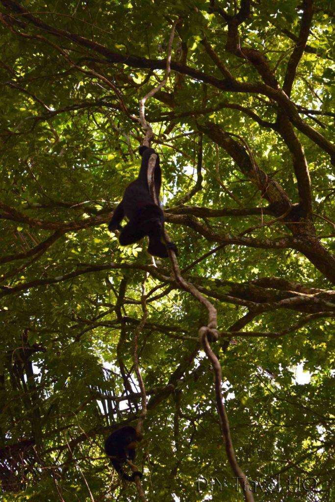 Meet Howler Monkeys at Community Baboon Sanctuary
