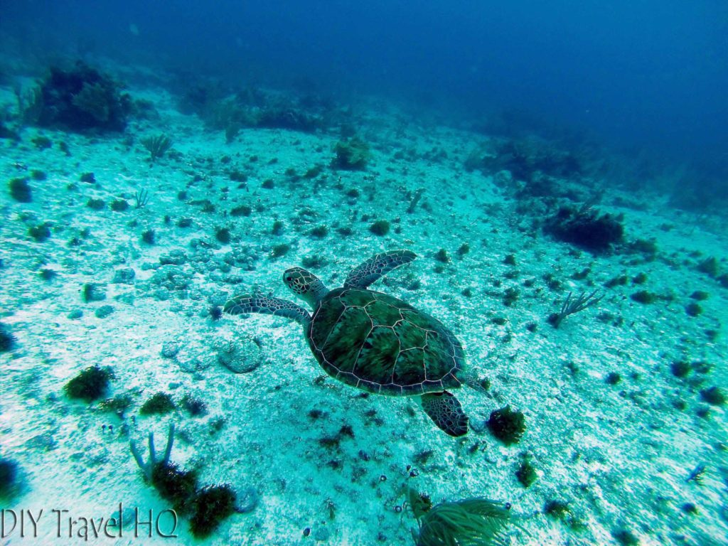 Loggerhead turtle at MUSA
